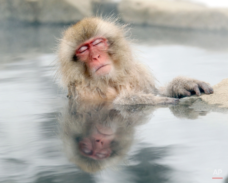 A Japanese snow monkey relaxes in a hot spring in the Jigokudani valley in northern Nagano Prefecture in Japan Friday, Feb 10, 2012. The macaques descend from the forests to the warm waters of the hot springs in the mornings, and return to the security of the forests in the evenings. (AP Photo/Nick Ut)