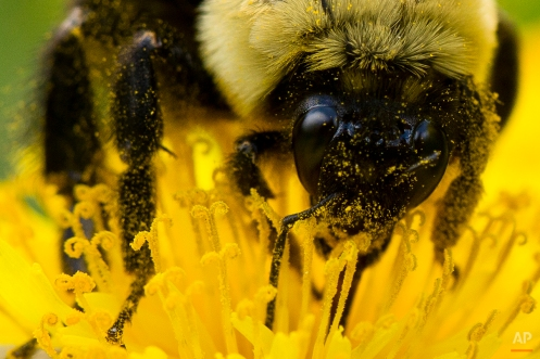 Pollen sticks to a bee as it gathers nectar from a dandelion on a spring afternoon in Philadelphia on Friday, May 2, 2014. (AP Photo/Matt Rourke)