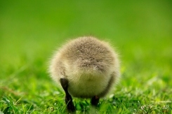 A Canada goose gosling is seen along the banks of the Schuylkill River in Philadelphia, Friday, May 8, 2009. (AP Photo/Matt Rourke)