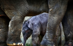 A 2-week old male baby elephant is dwarfed next to his 25-year old mother, Nandong, at the Singapore Zoo's Night Safari on Friday, Dec. 10, 2010 in Singapore. This baby is the first baby to be born in the enclosure after 9 years and had a birth weight of 151-kilograms. The Singapore Zoo and Night Safari ensures that its animals in captivity have habitats as close to that of the wild as part of its wildlife conservation efforts. Elephants are listed as endangered on International Union for Conservation of Nature.(AP Photo/Wong Maye-E) License this photo