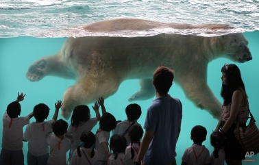 Inuka, the first polar bear born in the tropics, swims in his new enclosure at the Singapore Zoo on Wednesday, May 29, 2013 in Singapore. Modeled closely after the arctic habitat, the enclosure helps replicate the chilly climate of the arctic by including an ice cave, and a large pool filled with giant ice blocks. These are part of the Wildlife Reserves Singapore's efforts in providing visitors greater knowledge of the natural world. (AP Photo/Wong Maye-E) License this photo