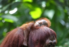 One month-old endangered Bornean Orang Utan sleeps on his mother named Miri on Wednesday, March 6, 2013, in Singapore. The Singapore Zoo is renowned for its flagship animal, the Orang Utan, and exhibits both the endangered Bornean and critically endangered Sumatran sub-species in a social setting. It is also known for its efforts in promoting and educating the public about the importance of wildlife conservation through its educational programs and breeding of these endangered species. (AP Photo/Wong Maye-E) License this photo