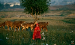 An Afghan refugee girl stands next to her family's sheep in a field next to a slum area on the outskirts of Islamabad, Pakistan, Monday, Oct. 1, 2012. (AP Photo/Muhammed Muheisen)
