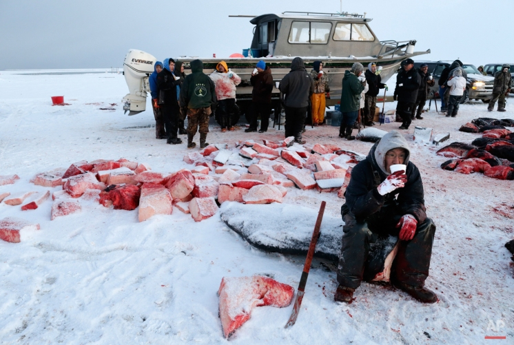 In this Oct. 7, 2014, photo, a cutter takes a break and drinks a soup of boiled bowhead whale meat and blubber while butchering a whale in a field near Barrow, Alaska. As workers continue with the cutting and hooking of the whale blubber, others prepare a soup to warm the crews. (AP Photo/Gregory Bull)