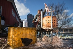 """In this Tuesday, Nov. 18, 2014, photo, Paul Dench-Layton, of Violet Hill Farm, pulls a fully defeathered turkey from his homemade mechanical plucker during the farms's Thanksgiving harvest, in West Winfield, N.Y. """"In the beginning, the whole reason I wanted to do turkeys for Thanksgiving was as a thank you to the customers that supported the farm for the rest of the year. So it wasn't really even initially, in its own sense, to make money or for an income,"""" said Dench-Layton. (AP Photo/John Minchillo)"""