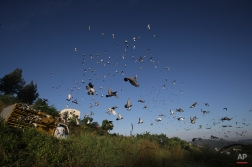 Racing pigeons are released from a truck by the Metro Manila Fanciers Club as they start training tosses for south races at the outskirts of Manila, Philippines on Sunday, Nov. 16, 2014. Pigeon racing is a popular pastime in some communities in the country. (AP Photo/Aaron Favila)