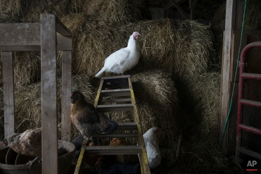 In this Sunday, Nov. 16, 2014, photo, domesticated turkeys roam freely at Violet Hill Farm before they are harvested for Thanksgiving, in West Winfield, N.Y. (AP Photo/John Minchillo)