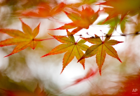 The bright leaves of an Acer Palmatum, or Japanese Maple, hang from a branch in the Asian Collection at the U.S. National Arboretum on a brisk fall day, in Washington, Sunday, Nov. 16, 2014. (AP Photo/Carolyn Kaster)