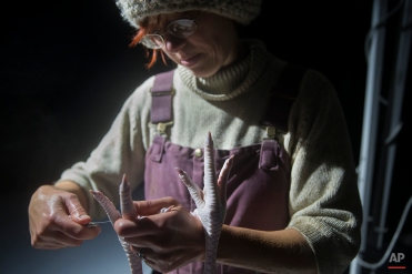 In this Monday, Nov. 17, 2014, photo, Mary Carpenter, owner of Violet Hill Farm, butchers a turkey as it is harvested for Thanksgiving, in West Winfield, N.Y. (AP Photo/John Minchillo)