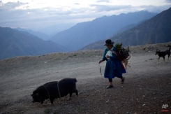 In this Oct. 29, 2014 photo, a woman walks with her pig and dogs in Ayahuanco region of Peru. Though the Shining Path was defeated two decades ago, cocaine-funded rebel remnants continue to hound Peru's security forces in the remote region. (AP Photo/Rodrigo Abd)