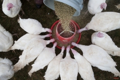 In this Sunday, Nov. 16, 2014, photo, Mary Carpenter, owner of Violet Hill Farm, not pictured, feeds her gang of turkeys in their paddock before they are harvested for Thanksgiving, in West Winfield, N.Y. (AP Photo/John Minchillo)