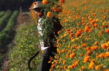 """Farmer Luis Flores harvests marigolds to be sold for the """"Day of the Dead"""" celebrations, on the outskirts of Morelia, Mexico, Monday, Oct. 18, 2010. Known as """"Cempasuchil"""" in Mexican native Nahuatl language, marigolds are purchased throughout the country each year mostly between Oct. 27 to Nov. 2 to adorn traditional Day of the Dead altars. (AP Photo/Carlos Jasso)"""