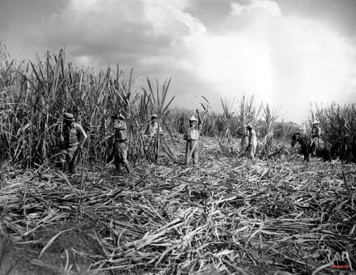 Field workers use machetes to cut sugar cane in a field in Havana, Cuba, Jan. 7, 1943. (AP Photo)