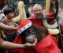 """Zoo owner Manny Tangco displays pythons behind an orangutan named """"Pacquiao"""" while giving school children a tour ahead of the next week's Christmas celebration Thursday, Dec. 18, 2014 in suburban Malabon city, north of Manila, Philippines. The yearly treat is aimed at encouraging residents to be sensitive to the feelings of animals especially when exploding firecrackers for the raucous celebration. (AP Photo/Bullit Marquez)"""