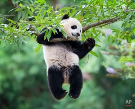 Panda cub Bao Bao hangs from a tree in her habitat at the National Zoo in Washington on her first birthday, Saturday, Aug. 23, 2014. The National Zoo is celebrating with a traditional 'Zhuazhou' ceremony, a Chinese birthday tradition symbolizing long life. (AP Photo/Pablo Martinez Monsivais)