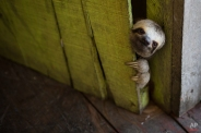 In this May 20, 2014 photo, a female baby sloth peeks out from behind a door on a floating house in the 'Lago do Janauari' near Manaus, Brazil. The sloth was captured by the owner of the floating house, who makes a living showing local fauna to visitors. In an an attempt to prevent any harm to the animals he says he only keeps each animal for a few weeks before returning it to it's natural habitat. (AP Photo/Felipe Dana)
