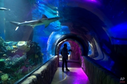 A sandbar shark swims over a walkway during a press visit to the Inbursa Aquarium in Mexico City, Friday, May 30, 2014. The Mexican magnate inaugurated the underground aquarium, one of the biggest in Latin America. (AP Photo/Rebecca Blackwell)