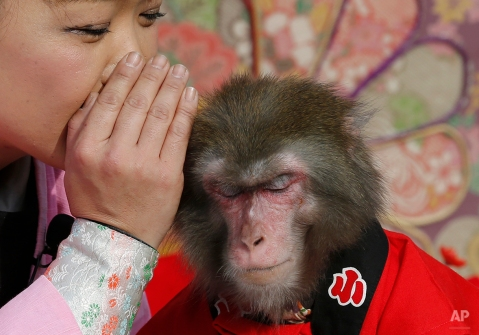 Ponta the monkey gestures to listen to a monkey trainer during their performance in Tokyo, Sunday, Jan. 4, 2015. (AP Photo/Shizuo Kambayashi)