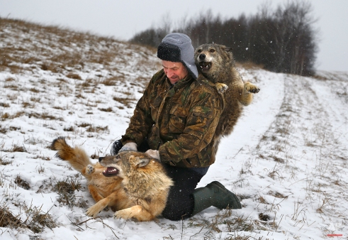 Belarusian Sergei Selekh plays with his 6-month-old tamed wolves on the outskirts of the village of Gaina, 45 kilometers (28 miles) north of Belarus capital Minsk, Wednesday, Dec. 31, 2014. Selekh owns a farmstead, where sheep, wolves and an ethnographic museum serve as entertainment for guests. (AP Photo/Sergei Grits)
