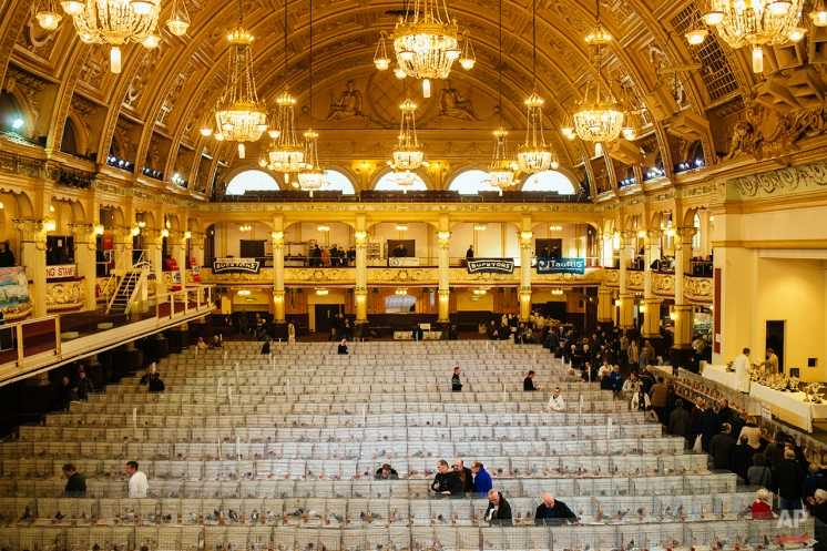 In this photo taken Saturday, Jan. 17, 2015, visitors look at cages containing pigeons competing in the annual British Homing World Show in the Empress Ballroom at the Winter Gardens, Blackpool, northwest England. (AP Photo/David Azia)
