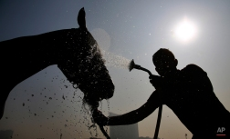 A handler bathes a horse after a training session ahead of the Indian Derby in Mumbai, India, Thursday, Jan 29, 2015. The Indian Derby, which will be held on Sunday, is one of India's prestigious racing events. (AP Photo/Rafiq Maqbool)