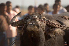 A buffalo arrives to participate in a buffalo fight in Ahatguri, in the northeastern Indian state of Assam, Friday, Jan. 16, 2015. Despite a Supreme Court ban on animal fights, villagers organized the buffalo fight as part of festivities to celebrate the Annual Magh Bihu, a harvest festival. (AP Photo/Anupam Nath)