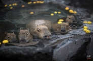Capybara soak in hot spring with citron at a park in Ito, Shizuoka Prefecture in Japan Monday, Dec. 29, 2014. Capybaras prefer open-air hot spring to keep themselves warm in this time of the year. (AP Photo/Eugene Hoshiko)