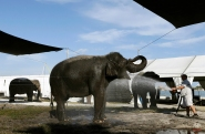 Joey Frisco gives elephants a bath outside of a tent where they are housed during a media preview of the Ringling Brothers and Barnum & Bailey Circus, Friday, Jan. 9, 2015, in Miami. The circus runs from Jan. 9-20 at American Airlines Arena in Miami. (AP Photo/Lynne Sladky)