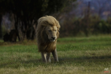 A male lion stands in the breeze at the Lion Park outside Johannesburg, South Africa, Wednesday Feb. 4, 2015. (AP Photo/Jerome Delay)