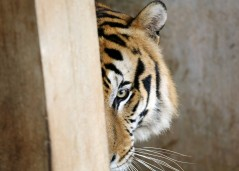 """A tiger hides inside a cage at the """"Tiger Temple,"""" in Saiyok district in Kanchanaburi province, west of Bangkok, Thursday, Feb. 12, 2015. Wildlife protection officials said on Thursday they found no mistreatment of the more than 100 tigers at the temple, one of the country's most popular destinations for foreign tourists. Famous for the iconic image of tame-looking big cats living with Buddhist monks, the temple has been accused of drugging the creatures to make them stay calm, an allegation the monks and the veterinarian who takes care of the animals, have denied. (AP Photo/Sakchai Lalit)"""
