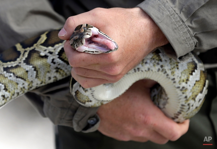 Edward Mercer, a nonnative wildlife technician with the Florida Fish and Wildlife Conservation Commission, holds a Burmese python, Thursday, Jan. 29, 2015, in Miami. The invasive Burmese python has proliferated in the Everglades, and officials are now working to keep another species, the Northern African python, from slithering into the same territory. (AP Photo/Lynne Sladky)