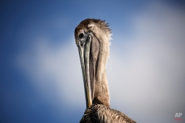 A pelican sits in the sun at Miami's Pelican Harbor Seabird Station, Tuesday, Feb. 3, 2015. Teresa Sepetuac, rehabilitation manager, reports 75 percent of the seabirds treated at the station were damaged by fishing line and hooks. The station uses almost 40,000 pounds of fish a year. (AP Photo/J Pat Carter)