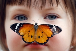 Georgia Ball Keely, 4, holds still as a Danaus Chrysippus or 'plain tiger' butterfly lands on her nose during a media opportunity at the Natural History Museum in London, Tuesday, March 31, 2015. Some hundreds of live tropical butterflies will fill the butterfly house for the returning exhibition called 'Sensational Butterflies' open at the museum from April 2 until Sept.13. (AP Photo/Kirsty Wigglesworth)