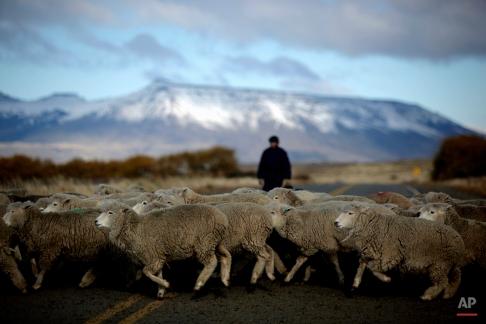 Sheep cross a road near El Calafate, southern Argentina, Saturday, May 16, 2009. (AP Photo/Natacha Pisarenko)