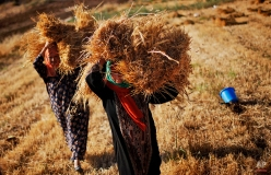 Palestinian women carry stacks of straw left after the wheat harvest in their field on the outskirts of the West Bank city of Ramallah, June 10, 2009. (AP Photo/Muhammed Muheisen)