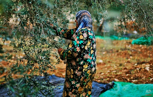 A Palestinian woman picks olives from her olive groves in the West Bank village of Qariout, near Nablus on Nov. 13, 2009. (AP Photo/Muhammed Muheisen)