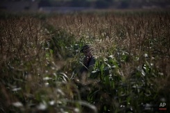 A Palestinian farmer takes a break to smoke a cigarette as he harvests corn in Jebaliya, northern Gaza Strip, May 12, 2010. (AP Photo/Tara Todras-Whitehill)