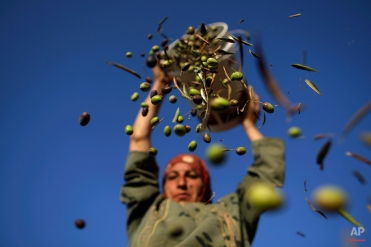 Palestinian Umm Eyad, 45, pours olives from a bucket she picked before sorting out the leaves, during the harvest on the outskirts of the West Bank city of Ramallah, Sept. 27, 2010. (AP Photo/Muhammed Muheisen)