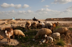 Two Palestinians ride horses, background, while sheep graze in the evacuated Jewish settlement of Netzarim, south of Gaza City on April 12, 2011. (AP Photo/Bernat Armangue)