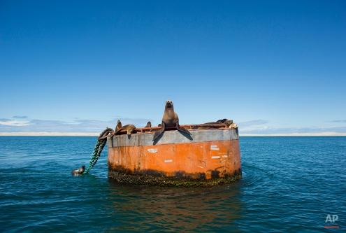 A group of California sea lions rest on a large buoy in the San Ignacio lagoon, in the Pacific Ocean, near Guerrero Negro, in Mexico's Baja California peninsula, March 3, 2015. (AP Photo/Dario Lopez-Mills)