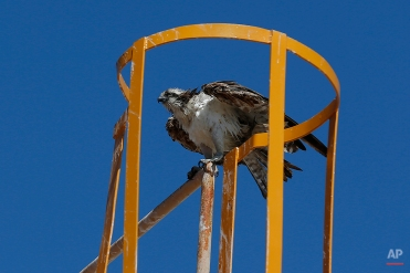 An Osprey, also known as a fish eagle, perches on a metal structure as it dries off, after diving into ocean waters, in Guerrero Negro, in Mexico's Baja California peninsula, March 3, 2015. One of the largest concentrations of Osprey's in the world inhabit the city, nesting on artificial structures around the lagoon. (AP Photo/Dario Lopez-Mills)