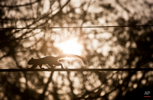 A squirrel, silhouetted against the morning sky, walks on an overhead telephone cable, in Managua, Nicaragua, Sunday, March 22, 2015. (AP Photo/Esteban Felix)