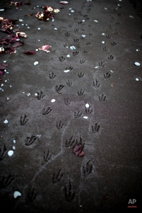 In this Jan. 26, 2015 photo, pinguine footprints cover the beach in Punta Hanna on Livingston Island, part of the South Shetland Islands archipelago in Antarctica. Earth's past, present and future come together here on the northern peninsula of Antarctica, the wildest, most desolate and mysterious of its continents. (AP Photo/Natacha Pisarenko)