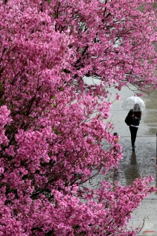 A woman shields herself with an umbrella under light rain at California State University, Northridge, Monday, March 2, 2015, in Northridge, Calif. Wet weather covered the Los Angeles region, including heavy hail in Huntington Beach, where at least an inch of icy pellets coated the sand on the beach, the National Weather Service said. (AP Photo/Julio Cortez)