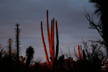 The last rays of sunlight illuminate a cardon cactus in the Valle de los Cirios, near Guerrero Negro, Mexico's Baja California peninsula, March 3, 2015. The Valle de los Cirios, also known as Valley of the Boojums, is a federally protected flora and fauna conservation area, one of Mexico's largest protected areas. (AP Photo/Dario Lopez-Mills)