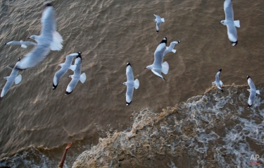 In this March 4. 2015 photo, seagulls fly closer to a river-ferry boat as a hand reaches out to feed them in Yangon, Myanmar. (AP Photo/Gemunu Amarasinghe)