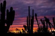 Cacti are silhouetted against a twilight sky in the Valle de los Cirios, near Guerrero Negro, Mexico's Baja California peninsula, March 3, 2015. (AP Photo/Dario Lopez-Mills)