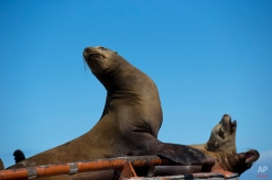 A group of California sea lions rest in a large buoy in the San Ignacio lagoon, on the Pacific Ocean near the town of Guerrero Negro, in Mexico's Baja California peninsula, March 3, 2015. (AP Photo/Dario Lopez-Mills)