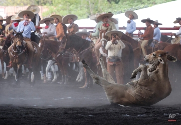 In this Feb. 28, 2015 photo, charros look on as a bull rolls after being brought down in the steer tailing event at a charreada in Mexico City. (AP Photo/Rebecca Blackwell)