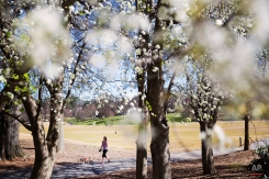 A woman walks her dog past flowering trees in Piedmont Park, Monday, March 16, 2015, in Atlanta. Temperatures are expected to reach near 80 degrees Monday in the metro Atlanta area. (AP Photo/David Goldman)